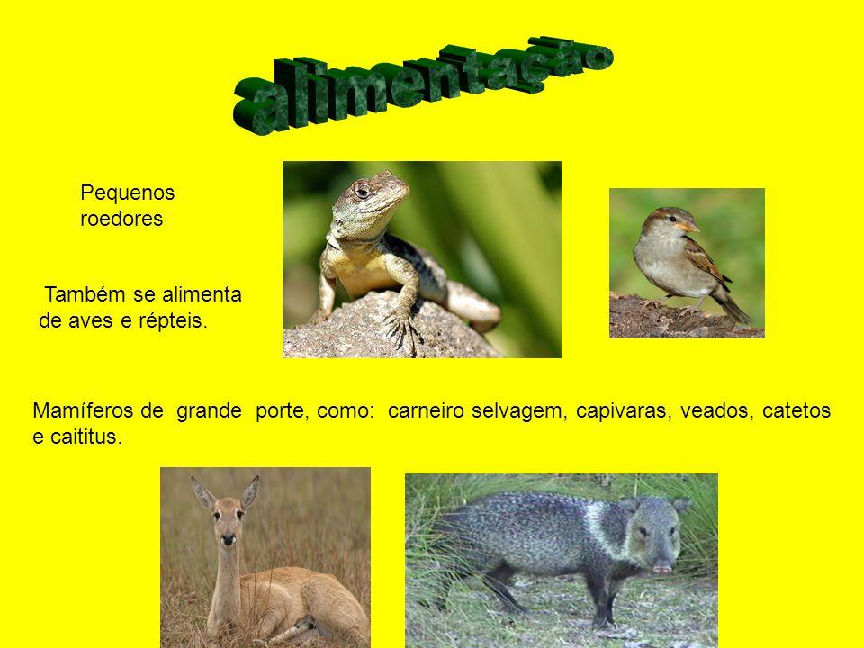 alimentação Pequenos roedores Também se alimenta de aves e répteis.