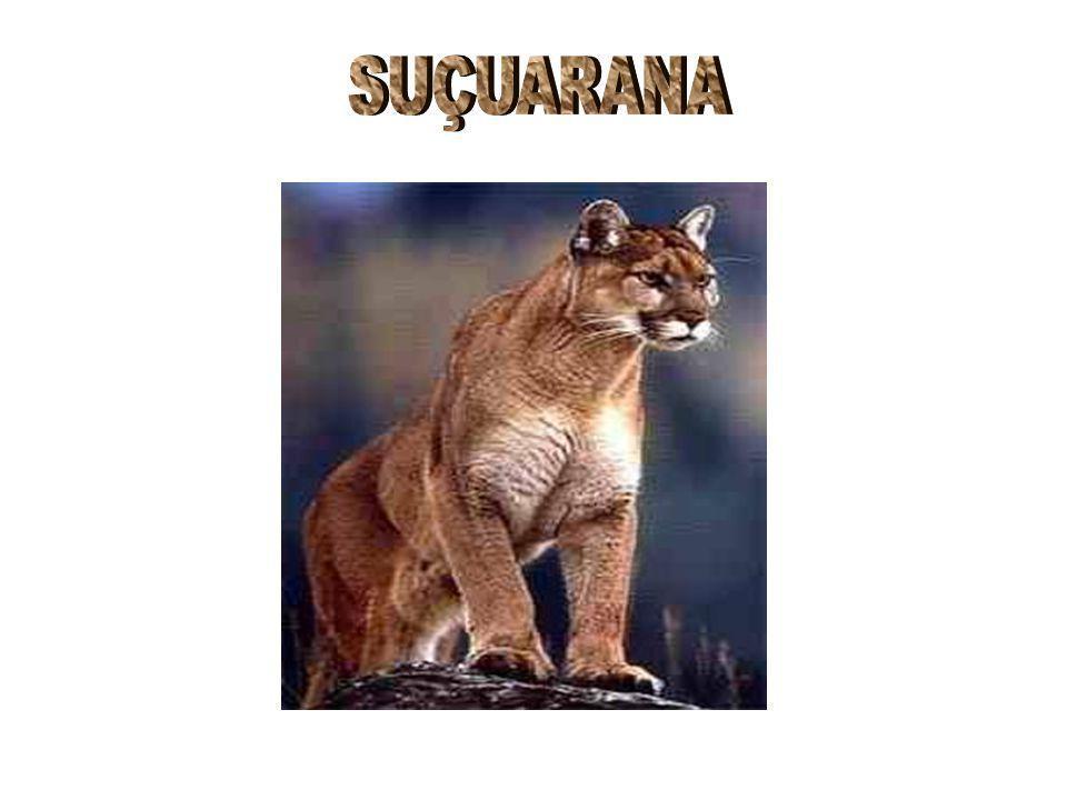 SUÇUARANA