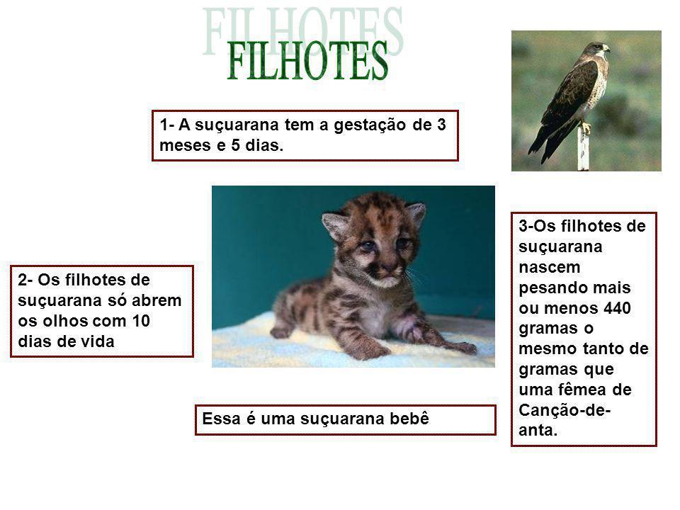 FILHOTES 1- A suçuarana tem a gestação de 3 meses e 5 dias.