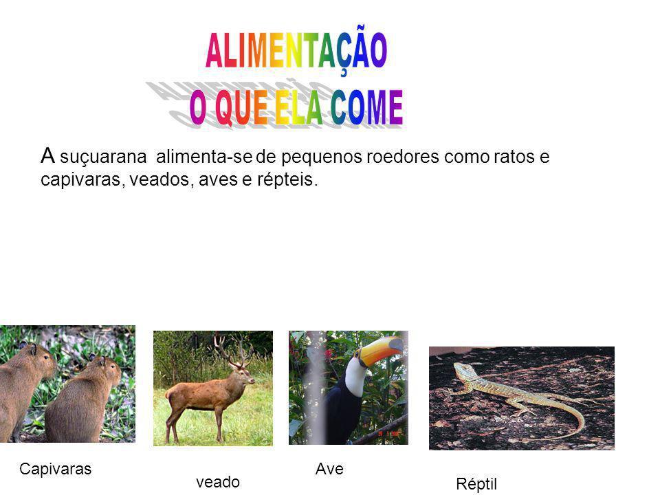 ALIMENTAÇÃO O QUE ELA COME. A suçuarana alimenta-se de pequenos roedores como ratos e capivaras, veados, aves e répteis.