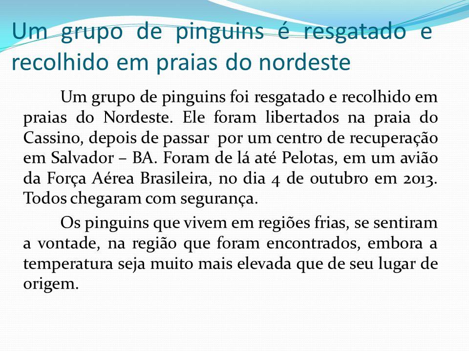 Um grupo de pinguins é resgatado e recolhido em praias do nordeste