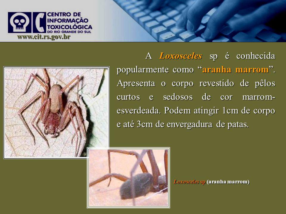 Loxosceles sp (aranha marrom)