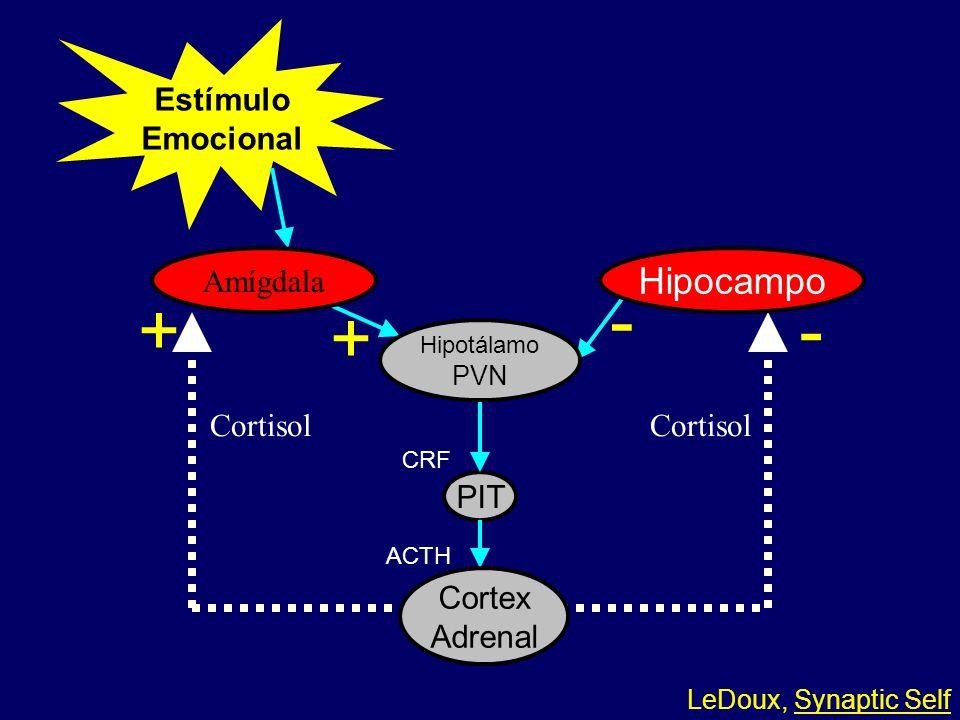 - + - + Hipocampo Estímulo Emocional Amígdala Cortisol Cortisol PIT