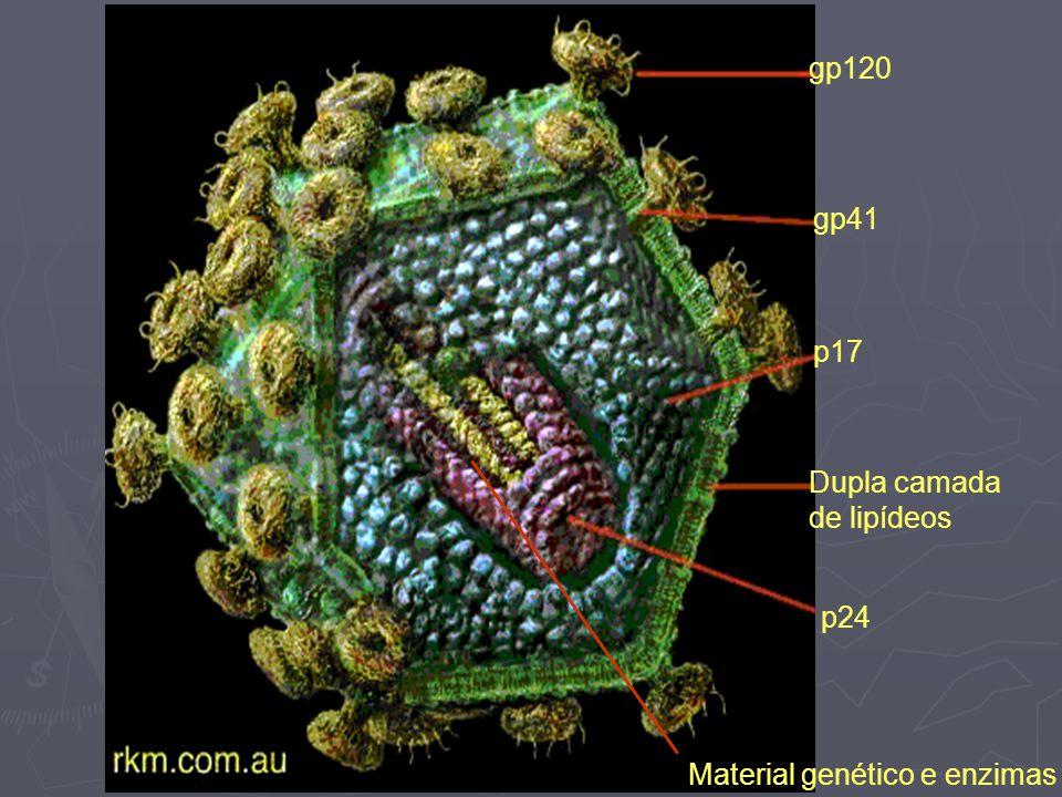 gp120 gp41 p17 Dupla camada de lipídeos p24 Material genético e enzimas