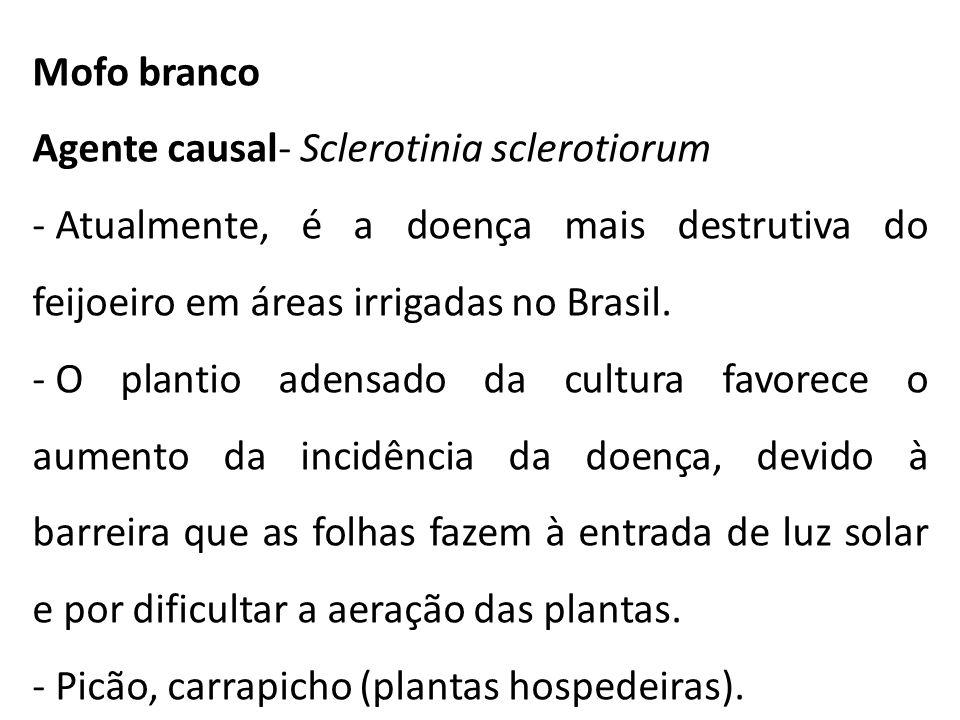 Mofo branco Agente causal- Sclerotinia sclerotiorum. Atualmente, é a doença mais destrutiva do feijoeiro em áreas irrigadas no Brasil.