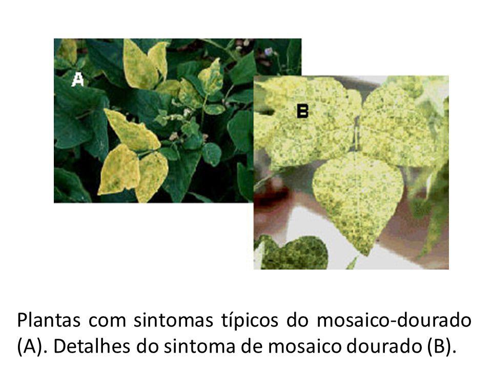Plantas com sintomas típicos do mosaico-dourado (A)