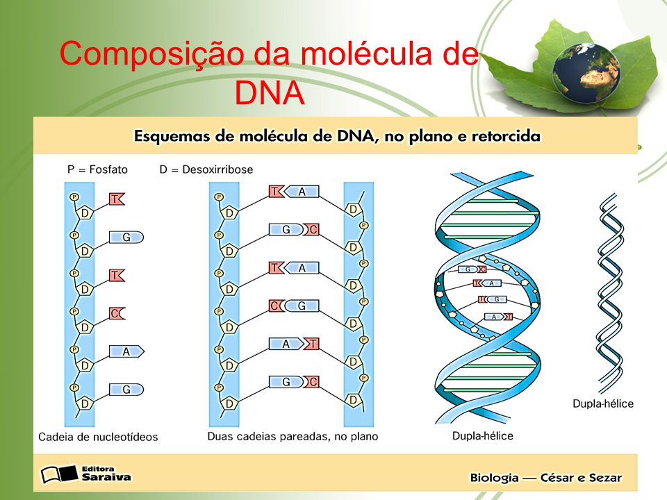 Composição da molécula de DNA