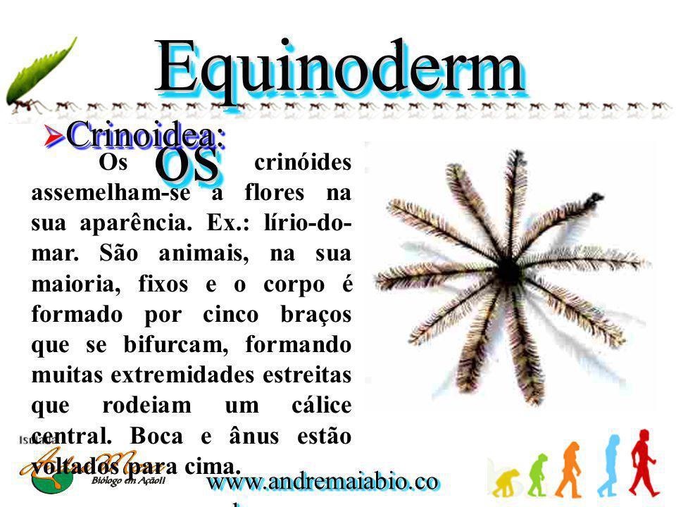 Equinodermos Crinoidea:
