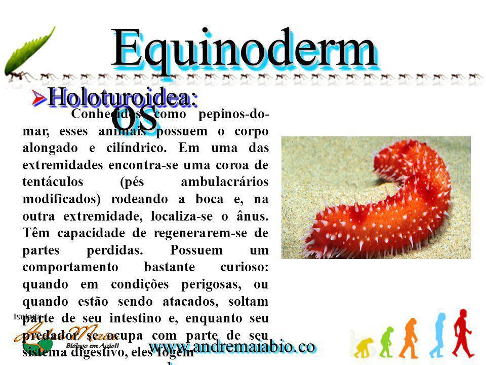 Equinodermos Holoturoidea: