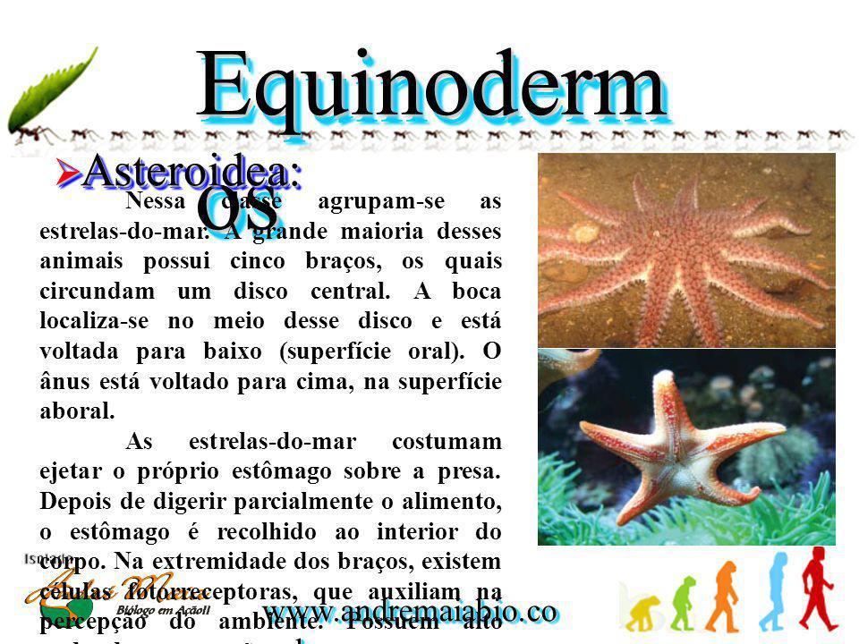 Equinodermos Asteroidea: