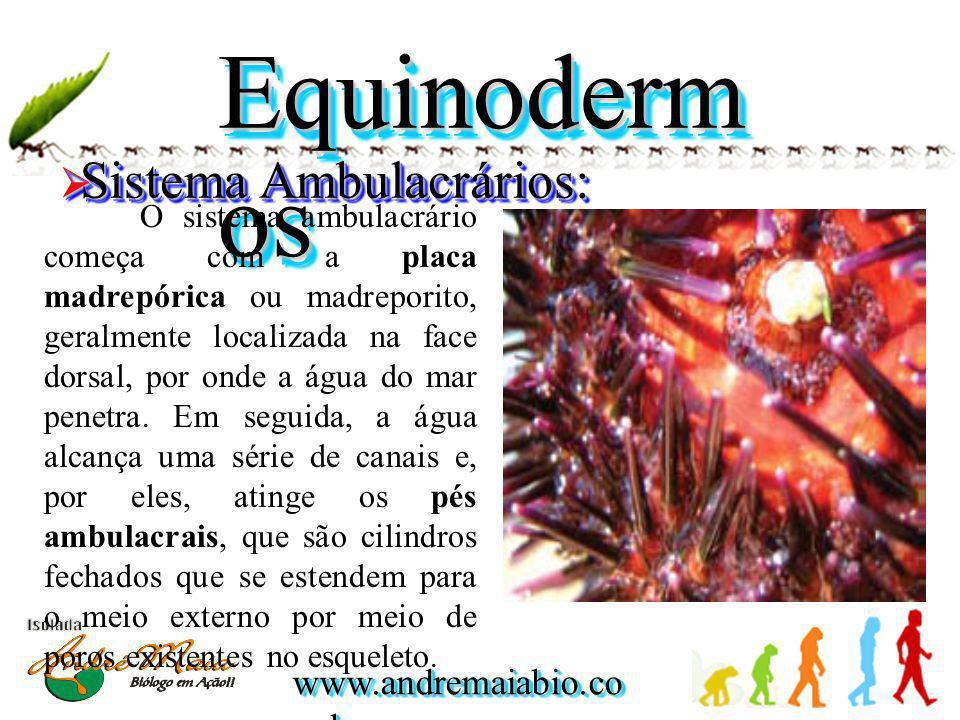 Equinodermos Sistema Ambulacrários:
