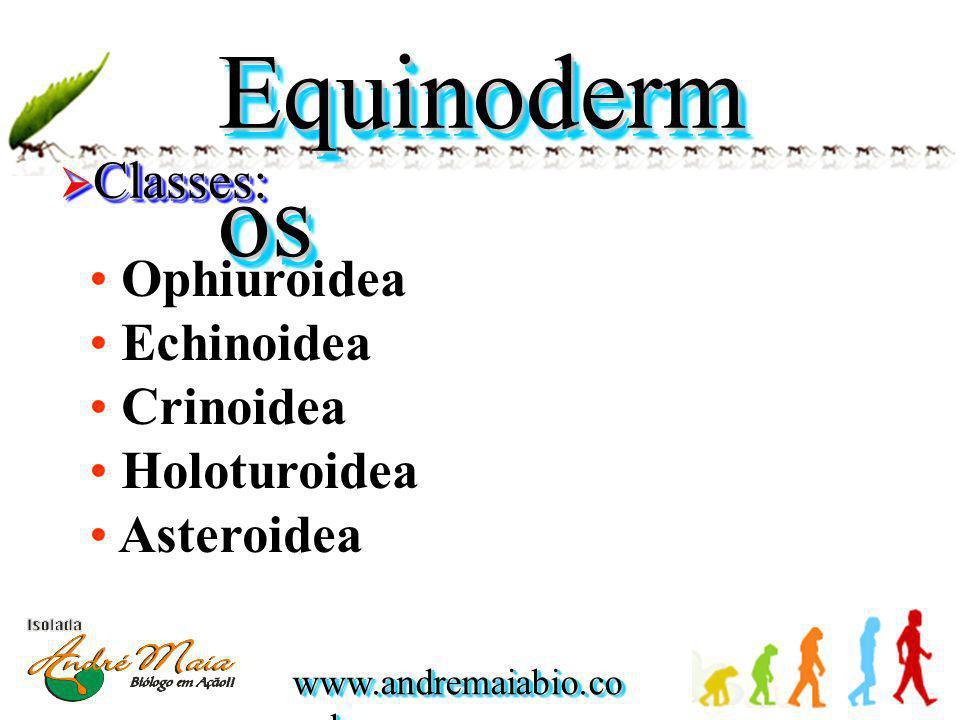 Equinodermos Classes: Ophiuroidea Echinoidea Crinoidea Holoturoidea