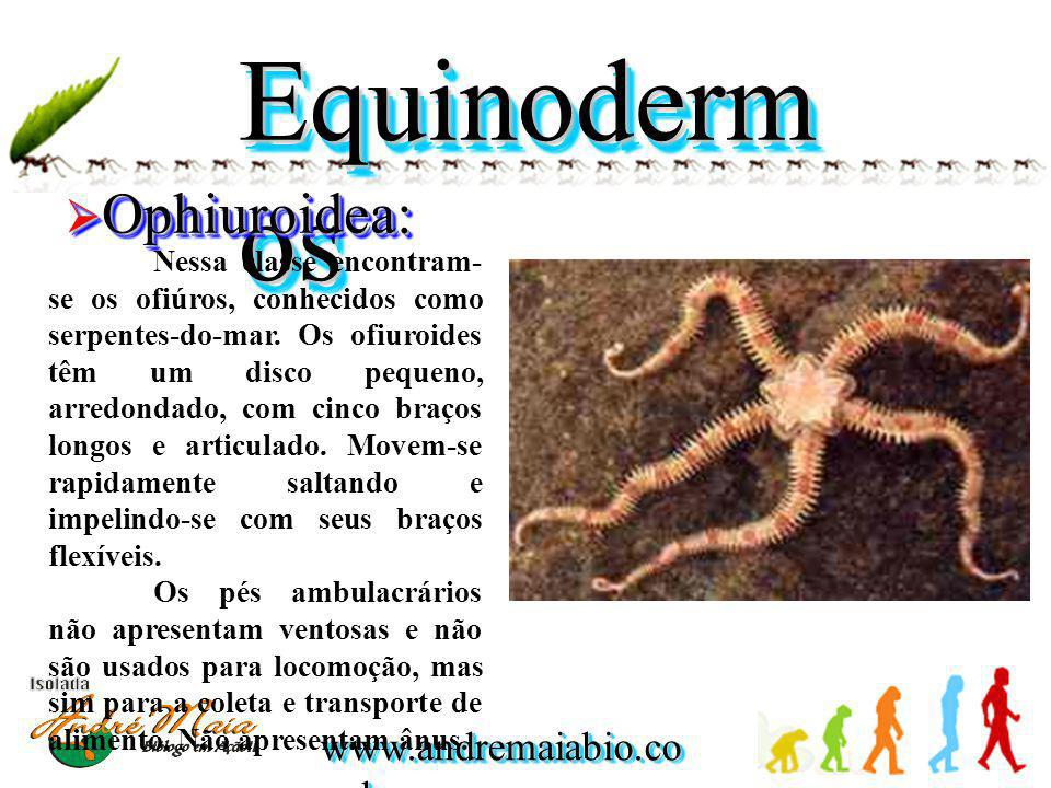 Equinodermos Ophiuroidea: