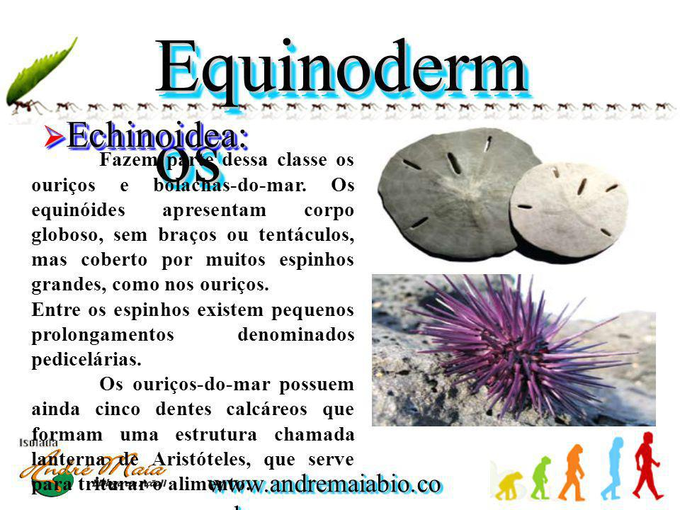 Equinodermos Echinoidea: