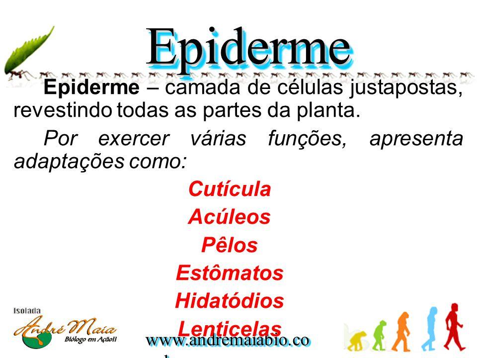 Epiderme Epiderme – camada de células justapostas, revestindo todas as partes da planta. Por exercer várias funções, apresenta adaptações como: