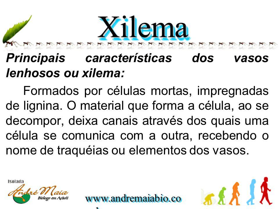Xilema Principais características dos vasos lenhosos ou xilema: