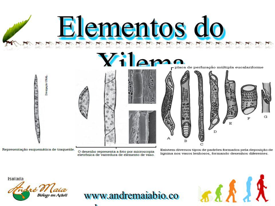 Elementos do Xilema