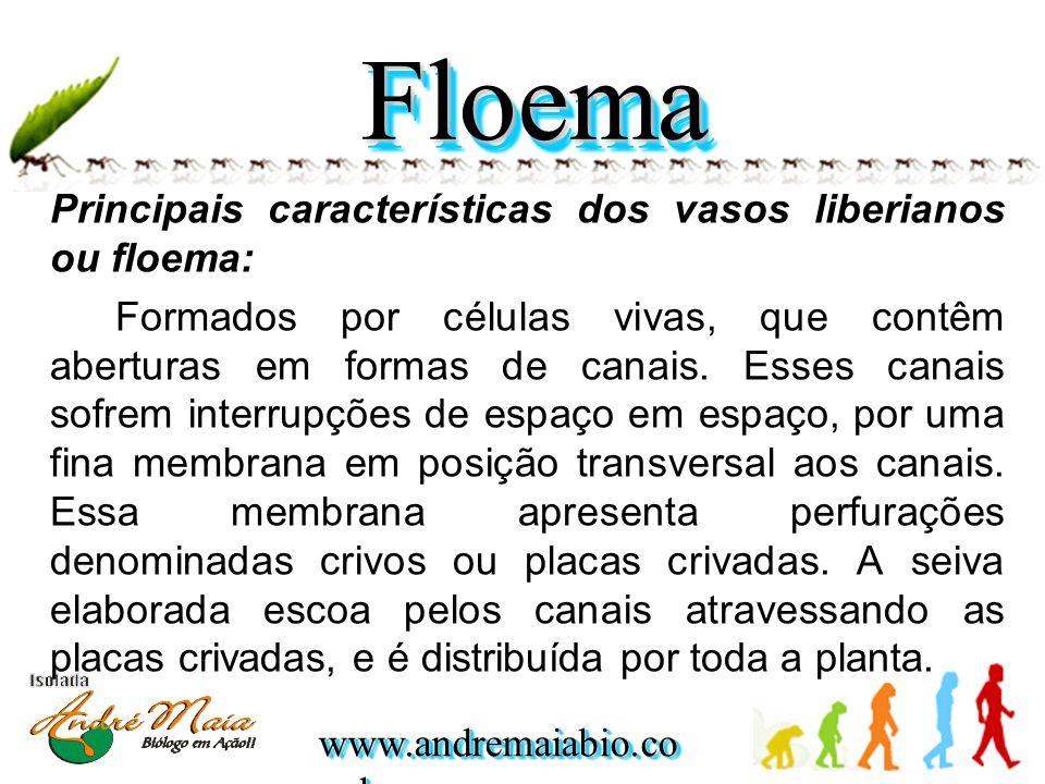 Floema Principais características dos vasos liberianos ou floema: