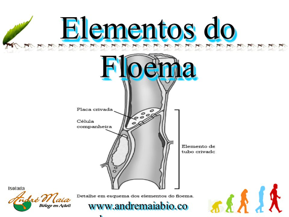 Elementos do Floema