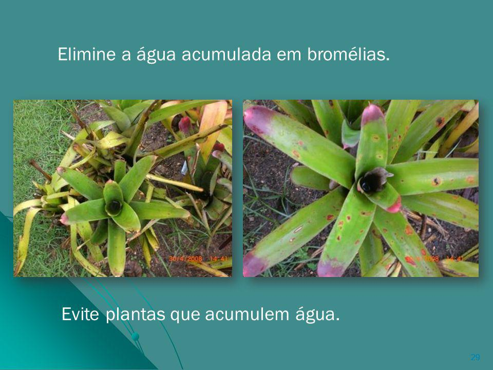 Elimine a água acumulada em bromélias.