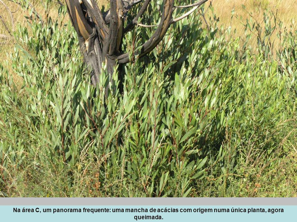 Na área C, um panorama frequente: uma mancha de acácias com origem numa única planta, agora queimada.