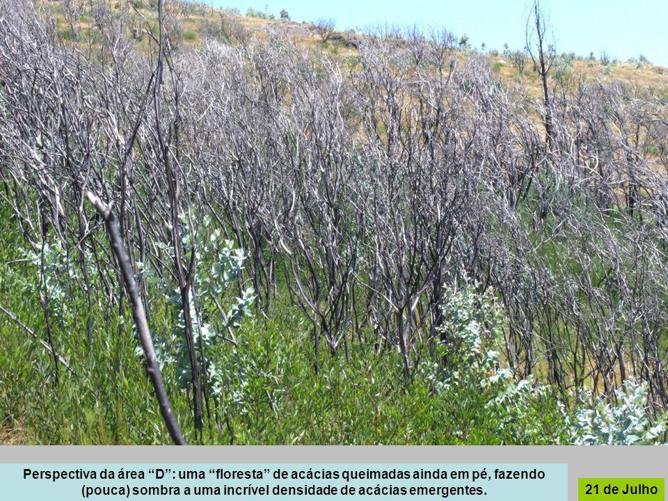 Perspectiva da área D : uma floresta de acácias queimadas ainda em pé, fazendo (pouca) sombra a uma incrível densidade de acácias emergentes.
