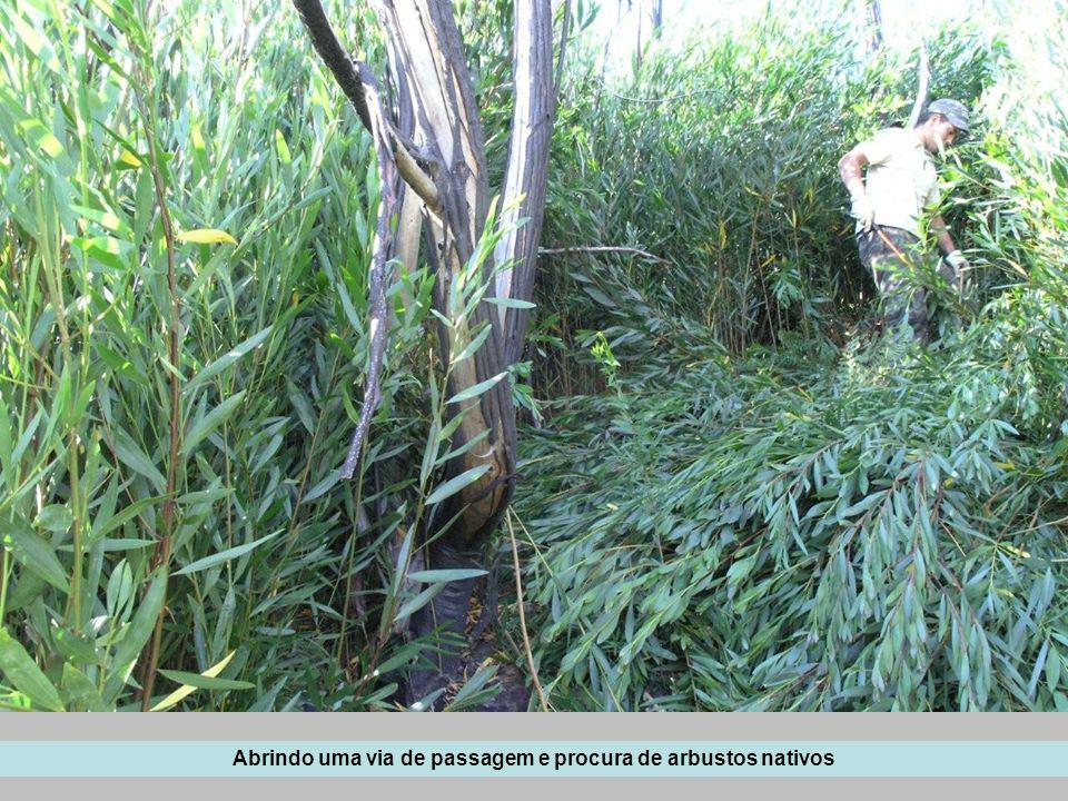 Abrindo uma via de passagem e procura de arbustos nativos