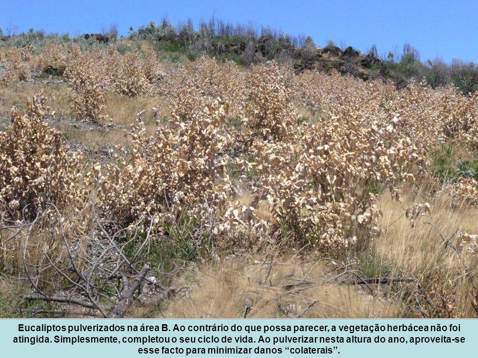 Eucaliptos pulverizados na área B