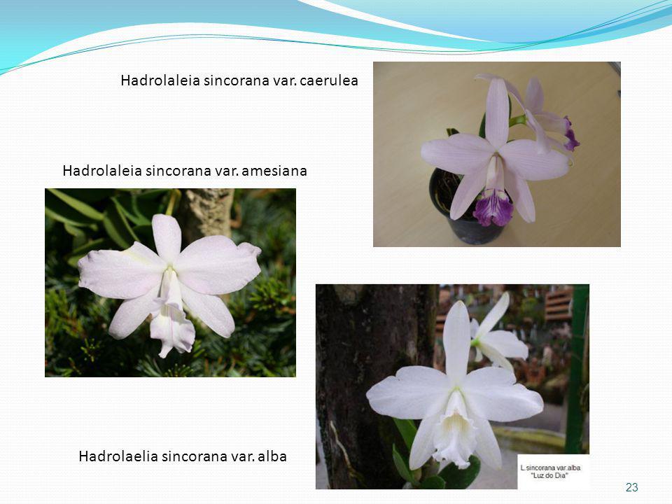 Hadrolaleia sincorana var. caerulea