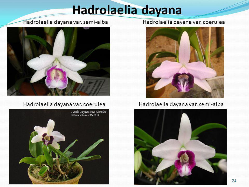 Hadrolaelia dayana Hadrolaelia dayana var. semi-alba