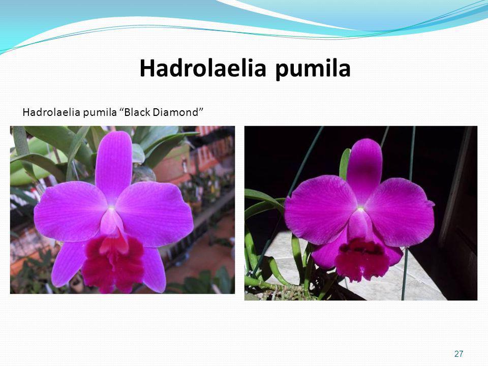 Hadrolaelia pumila Hadrolaelia pumila Black Diamond
