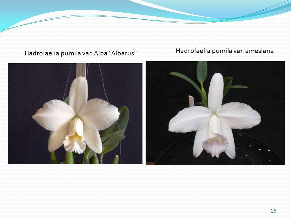 Hadrolaelia pumila var. amesiana