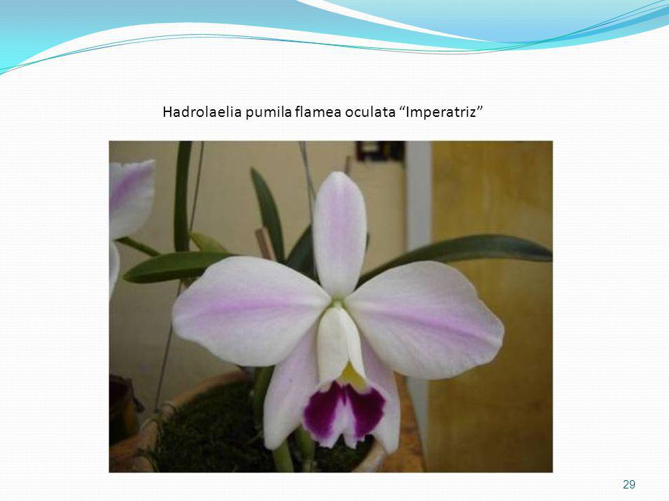 Hadrolaelia pumila flamea oculata Imperatriz