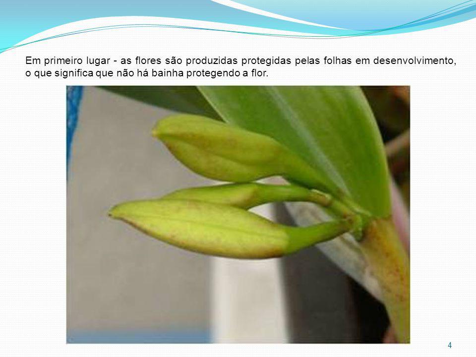 Em primeiro lugar - as flores são produzidas protegidas pelas folhas em desenvolvimento, o que significa que não há bainha protegendo a flor.