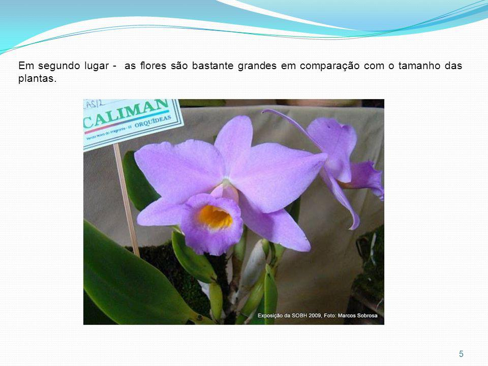 Em segundo lugar - as flores são bastante grandes em comparação com o tamanho das plantas.