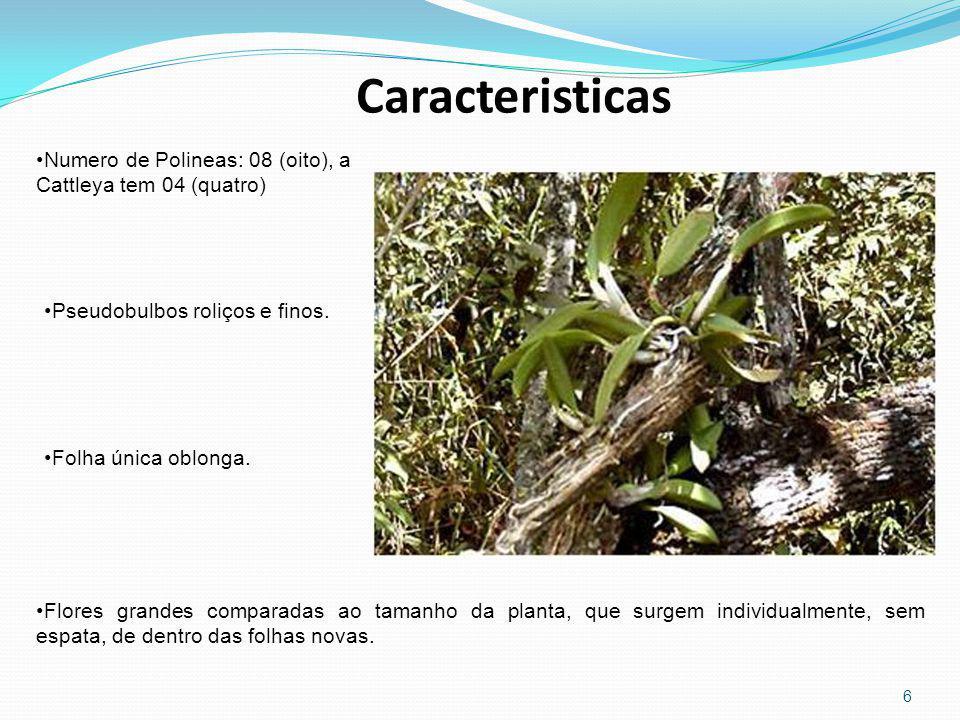 Caracteristicas Numero de Polineas: 08 (oito), a Cattleya tem 04 (quatro) Pseudobulbos roliços e finos.