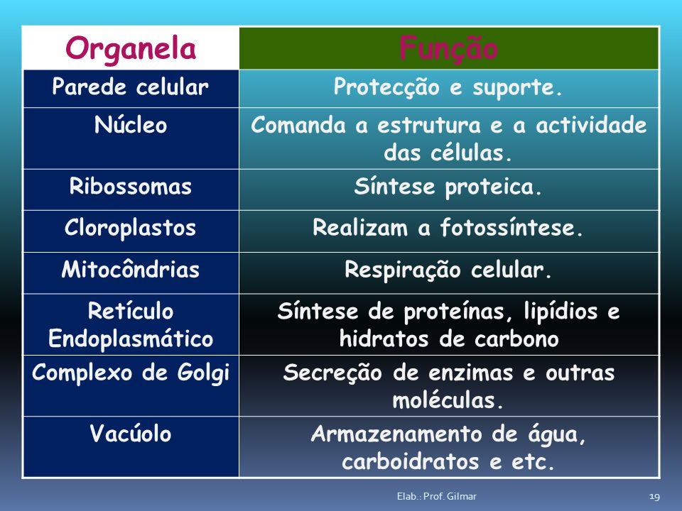 Organela Função Parede celular Protecção e suporte. Núcleo