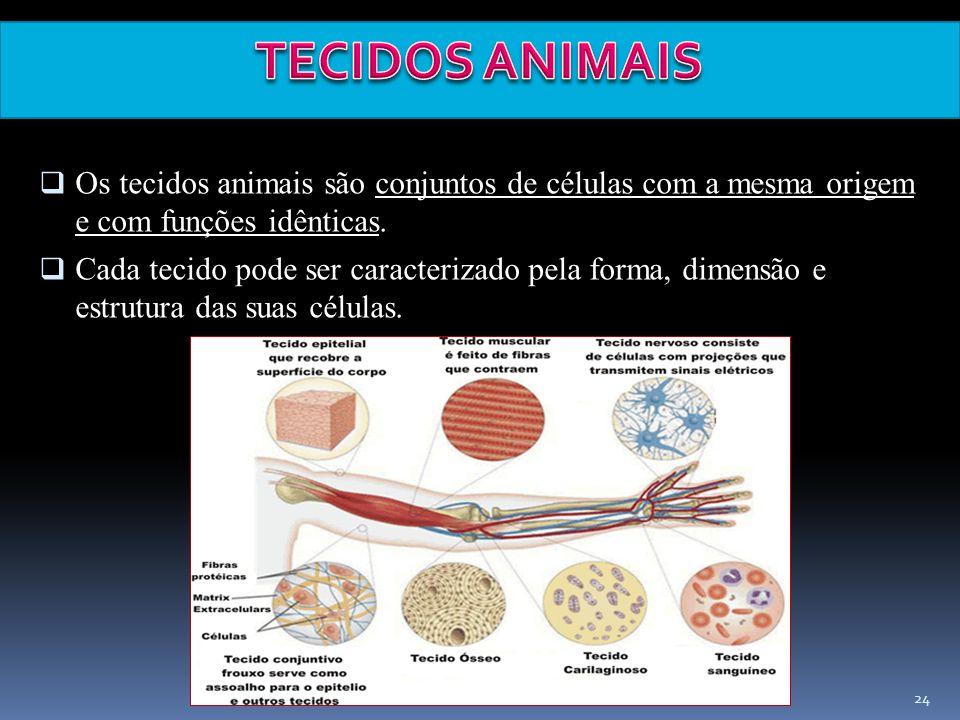 TECIDOS ANIMAIS Os tecidos animais são conjuntos de células com a mesma origem e com funções idênticas.