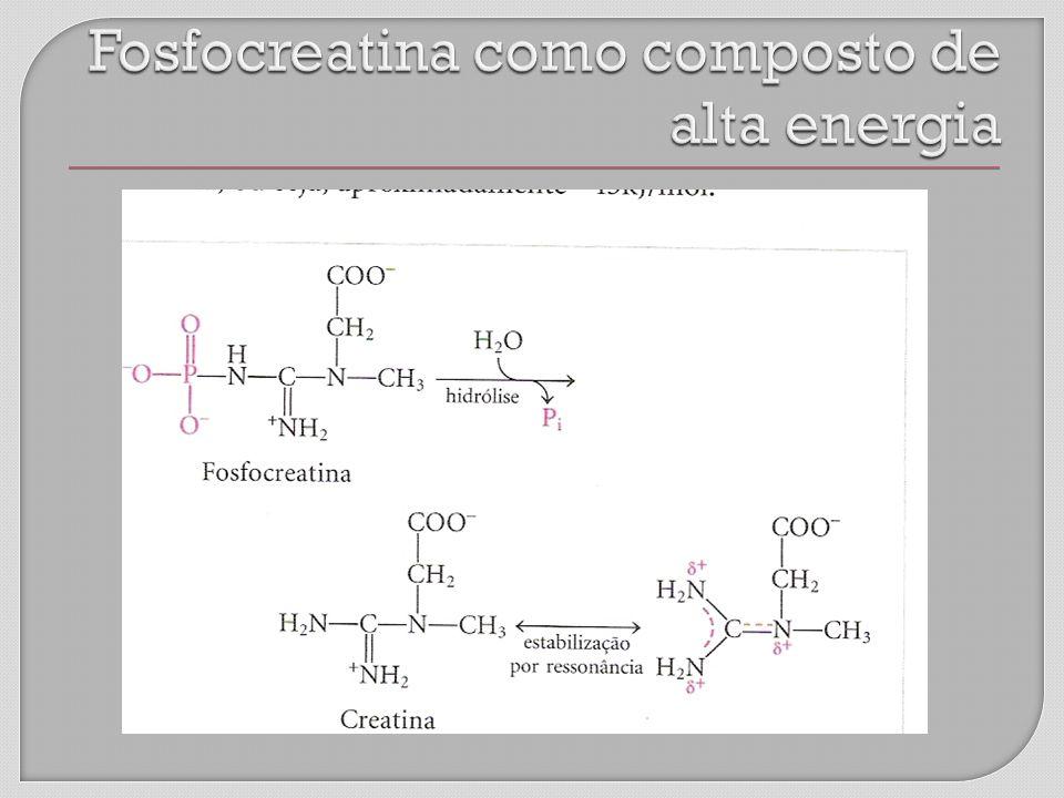 Fosfocreatina como composto de alta energia
