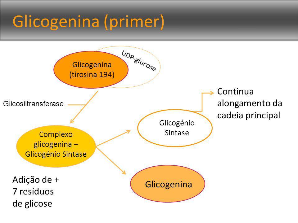 Complexo glicogenina – Glicogénio Sintase
