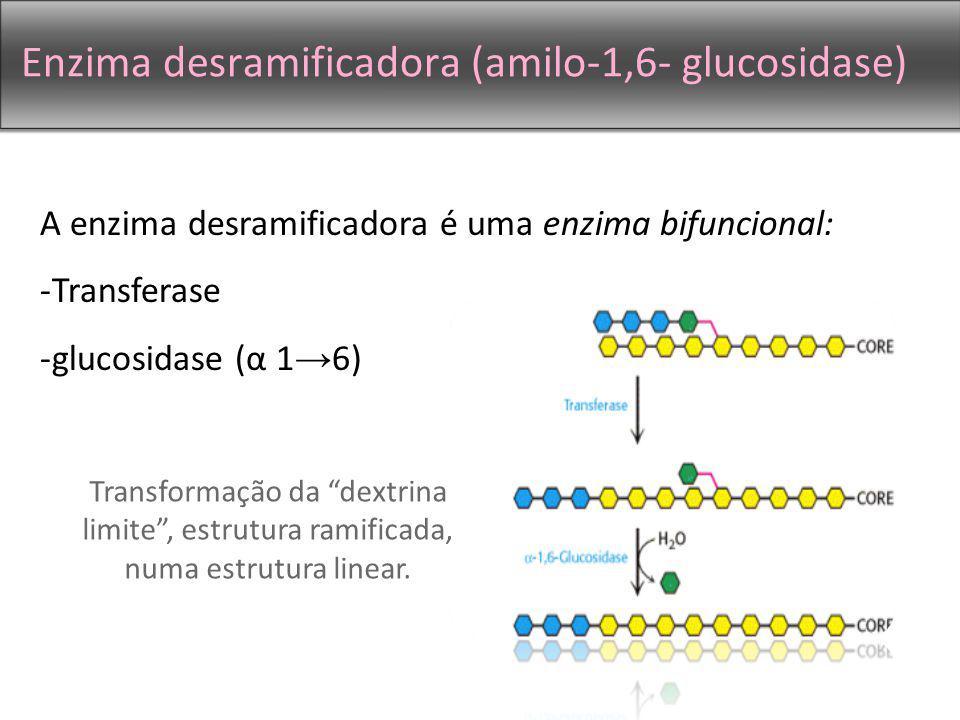 Enzima desramificadora (amilo-1,6- glucosidase)