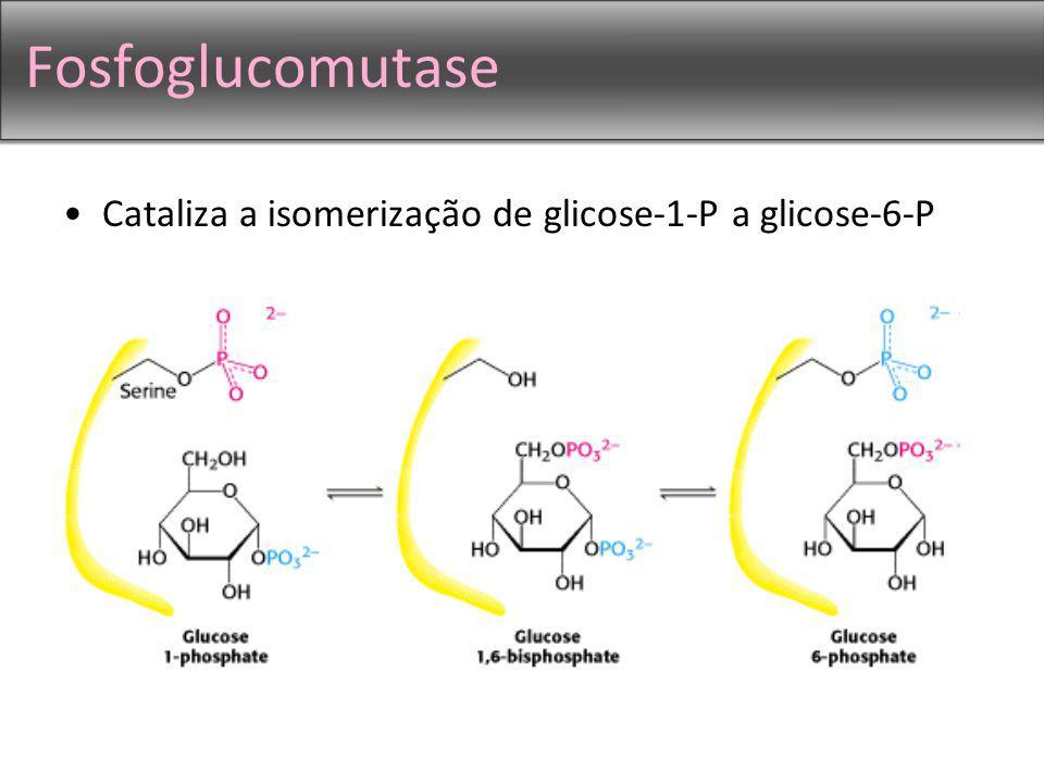 Fosfoglucomutase Cataliza a isomerização de glicose-1-P a glicose-6-P