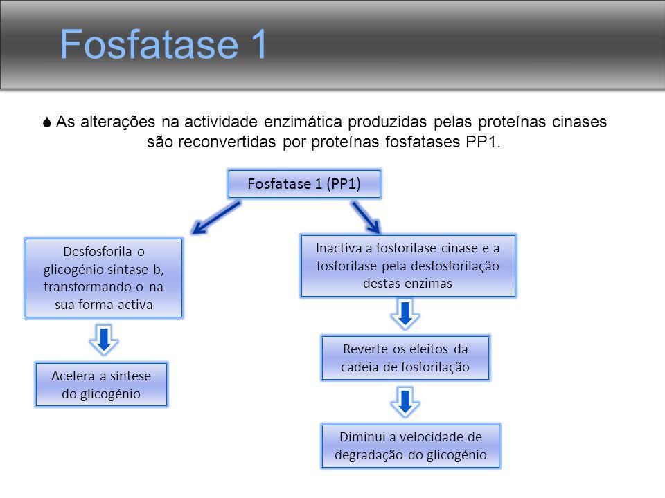 Fosfatase 1  As alterações na actividade enzimática produzidas pelas proteínas cinases são reconvertidas por proteínas fosfatases PP1.