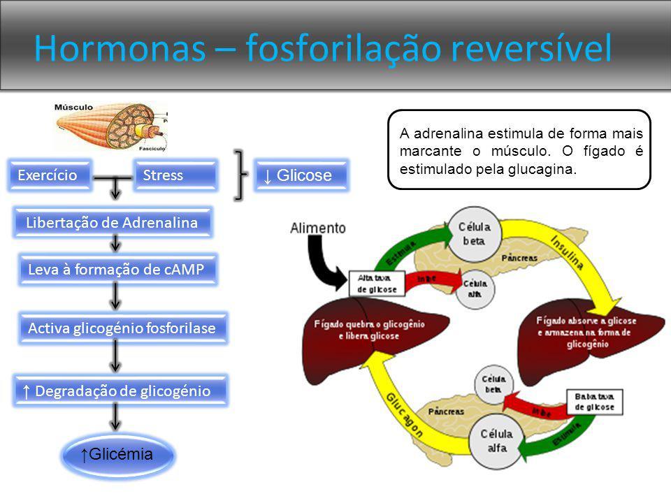 Hormonas – fosforilação reversível