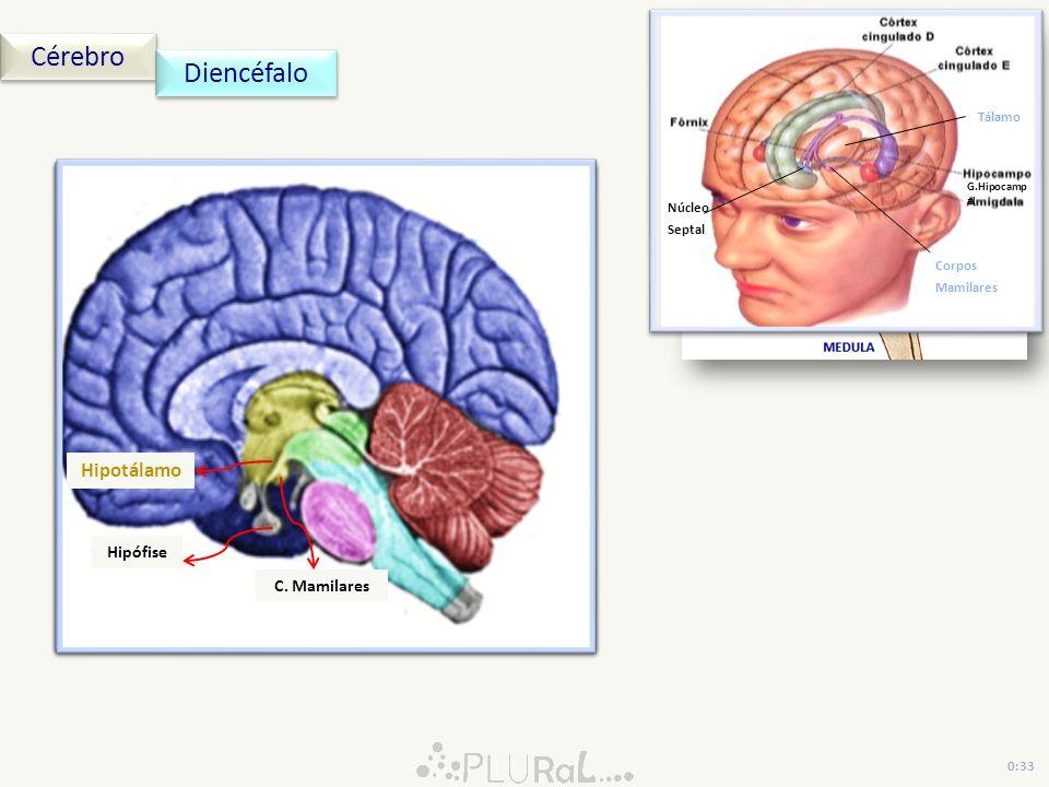 Cérebro Diencéfalo Epitálamo Tálamo Hipotálamo Pineal Hipófise