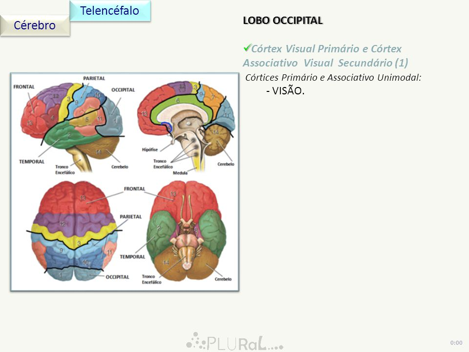 Telencéfalo Cérebro LOBO OCCIPITAL