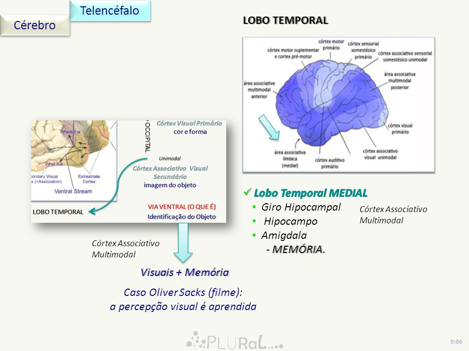 Telencéfalo Cérebro LOBO TEMPORAL Lobo Temporal MEDIAL Giro Hipocampal