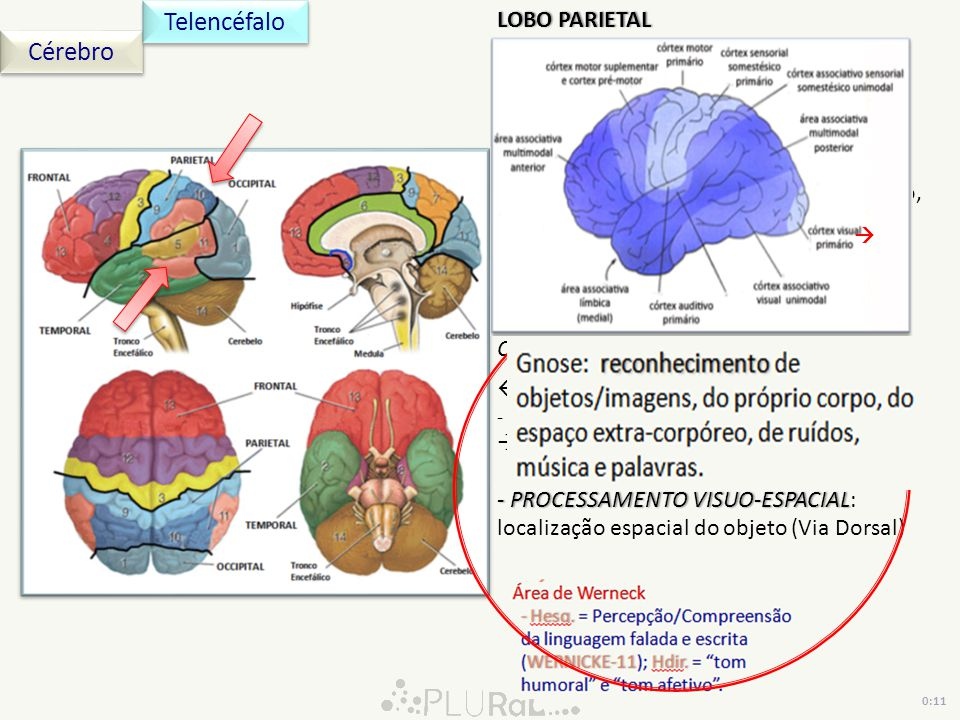 Telencéfalo Cérebro LOBO PARIETAL