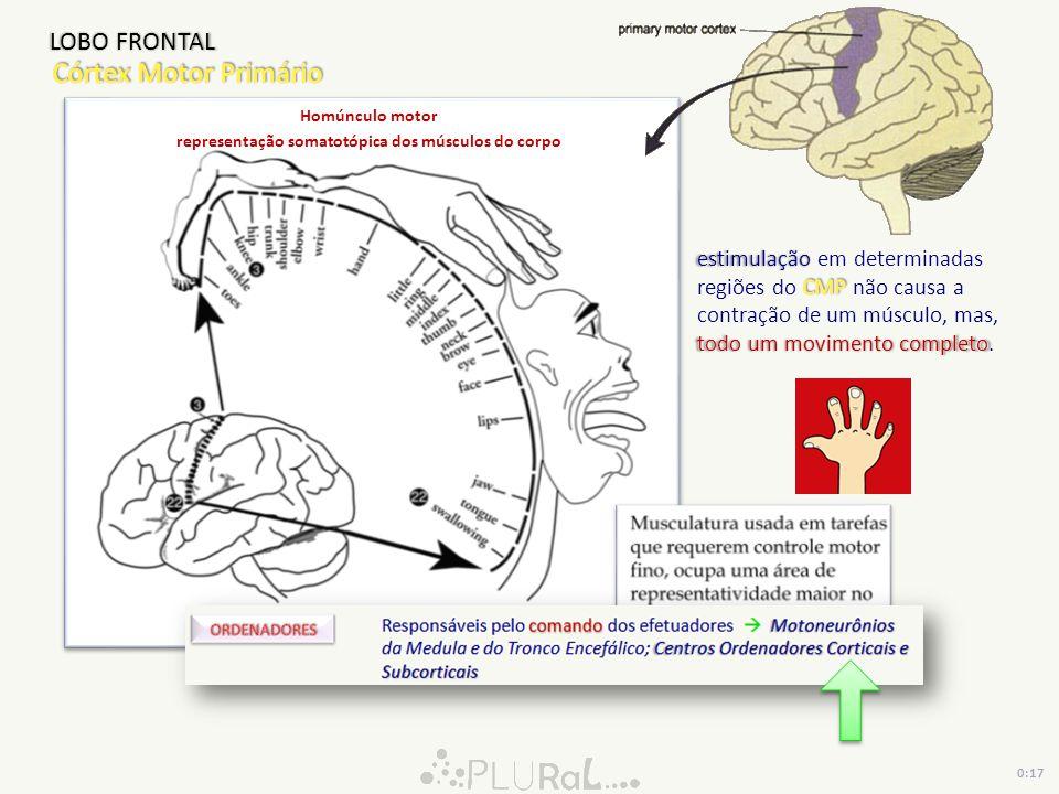 representação somatotópica dos músculos do corpo