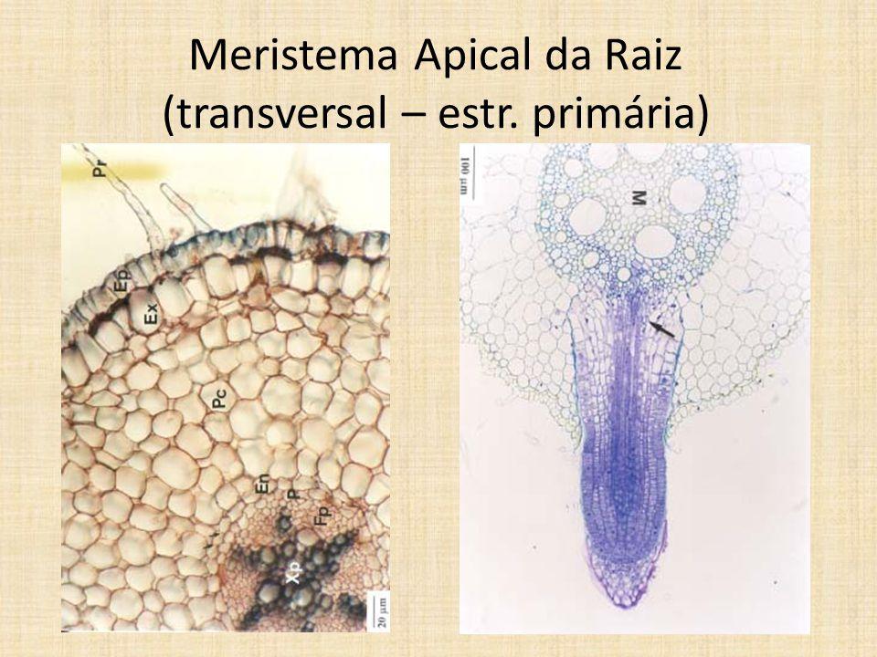 Meristema Apical da Raiz (transversal – estr. primária)